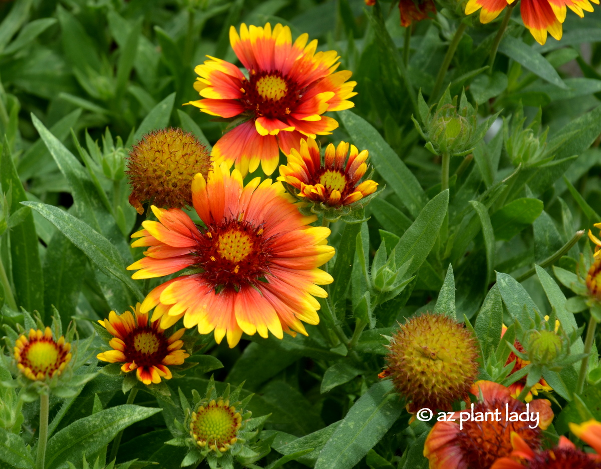 Small space garden hummingbird paradise ramblings from a desert besides producing pretty flowers and attracting hummingbirds these perennials are drought tolerant love hotdry spaces can be grown in zones 5 10 and are mightylinksfo