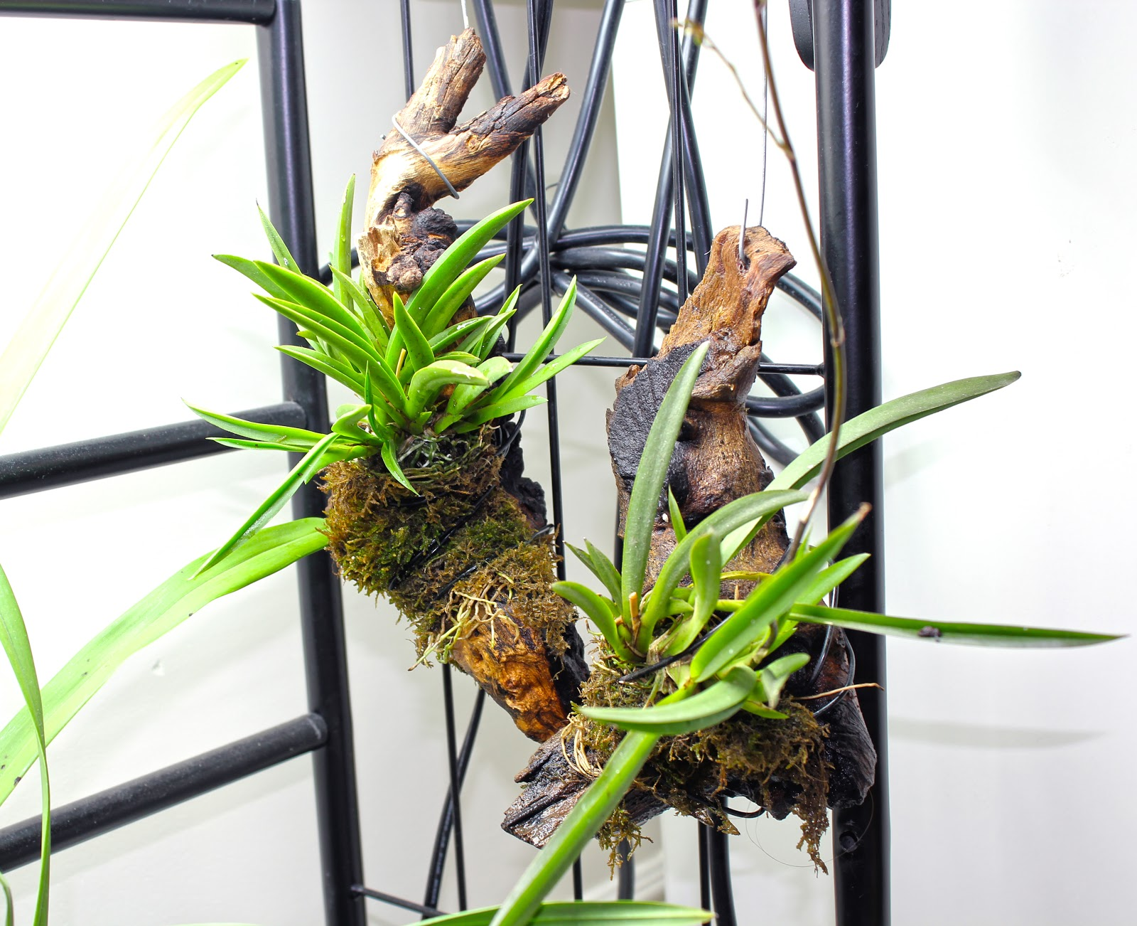 Platycerium Bifurcatum moreover Remounting Tolumnia Pink Panther in addition Cymbidium madidum together with Arctostaphylos X Coloradoensis in addition Terrestrial Fir Orchid Mix. on growing orchids in bark