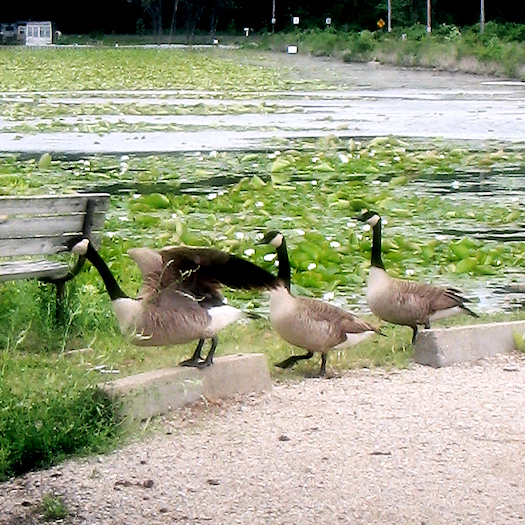 Canada geese marching in line photo by Tori Beveridge
