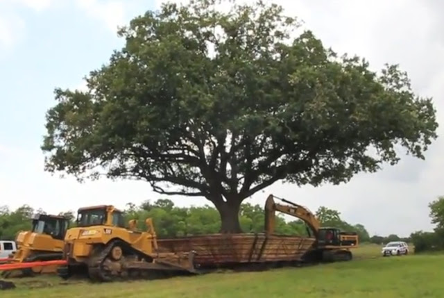 100 year old Oak Bonsai relocation
