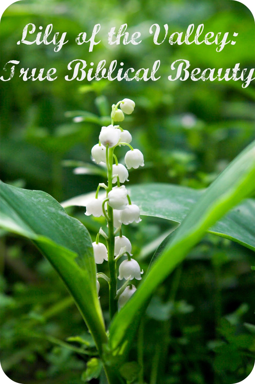 Lily of the valley true biblical beauty part two whispers to lily of the valley true biblical beauty part two whispers to the heart izmirmasajfo Images