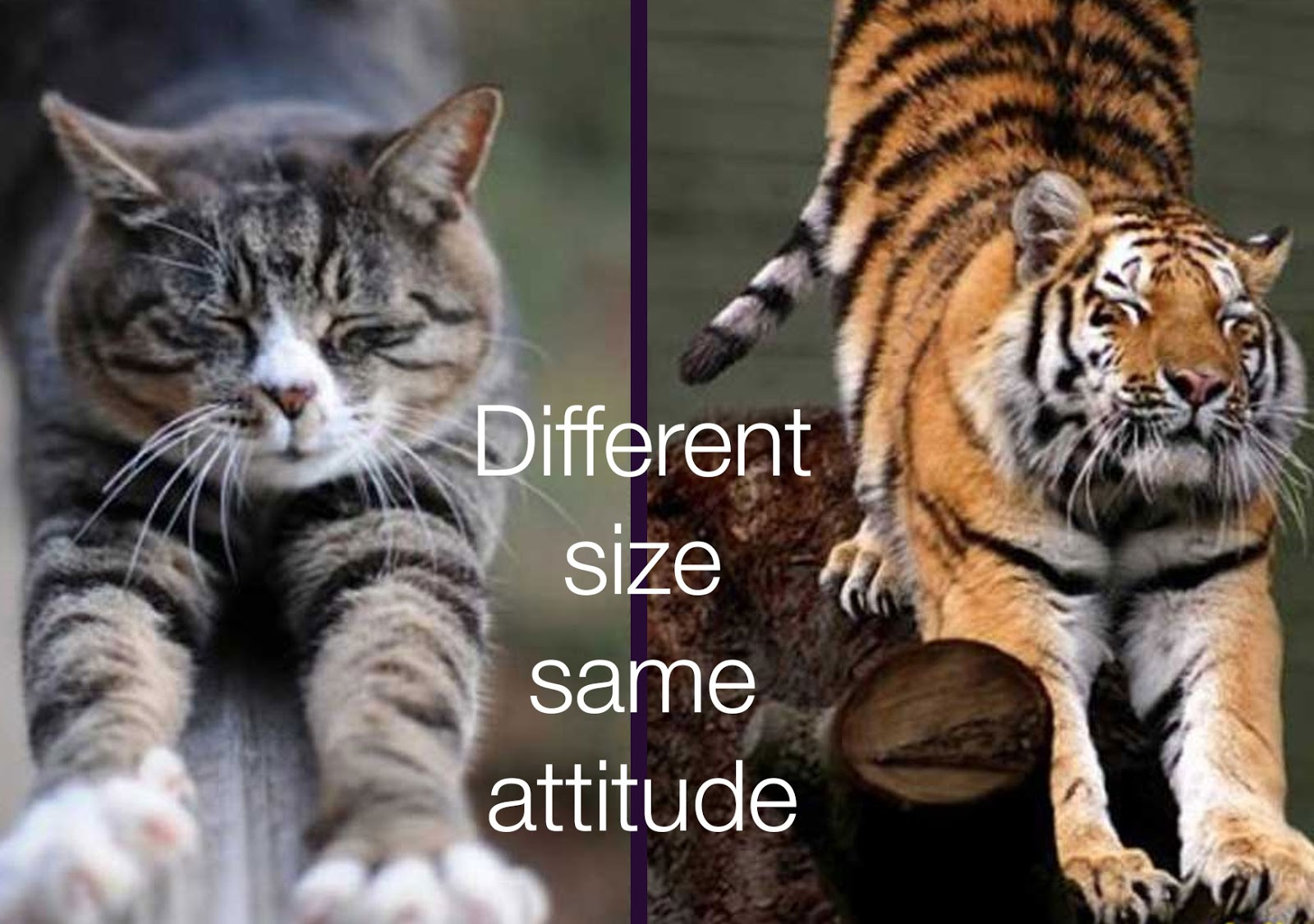 Shiny Madhu: Cat and Tiger