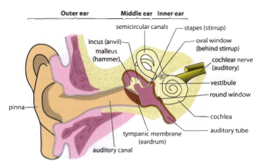 Tanya hl bio rods cones the ear diagram of the ear ccuart Image collections