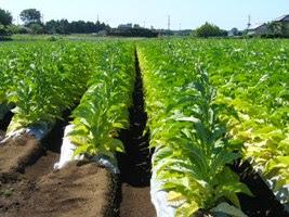 Moçambique: Produtores de tabaco ameaçam abandonar atividade devido a excedentes