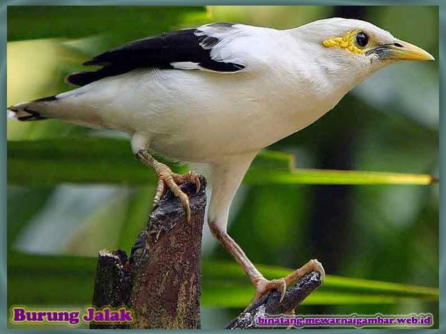 gambar burung jalak