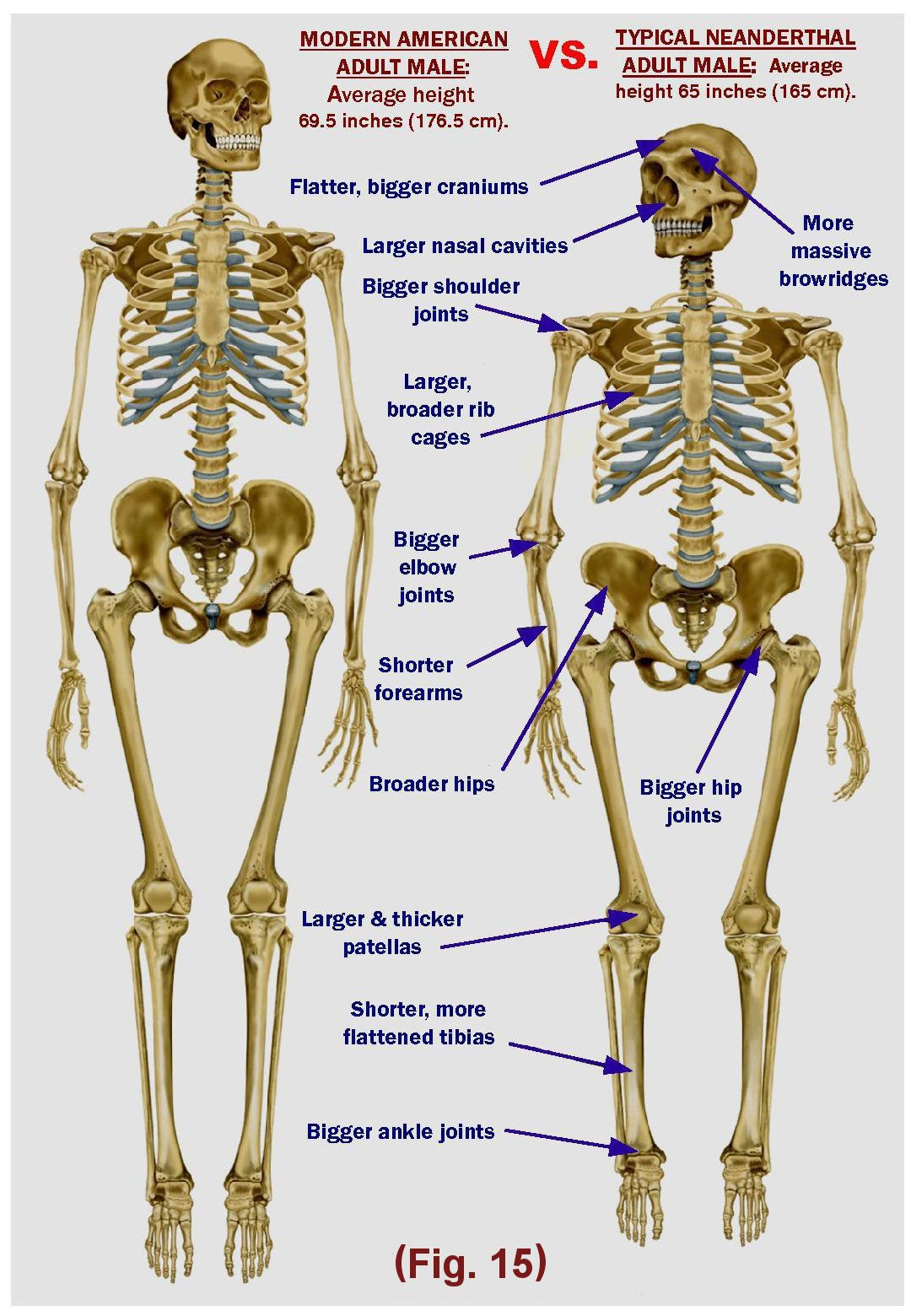biology evolution project power point, Skeleton