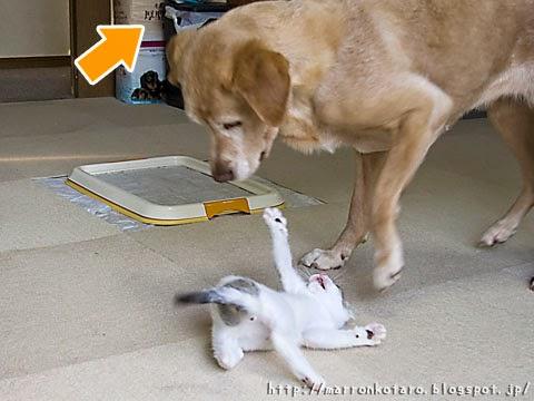 仔猫とラブラドールの戦い