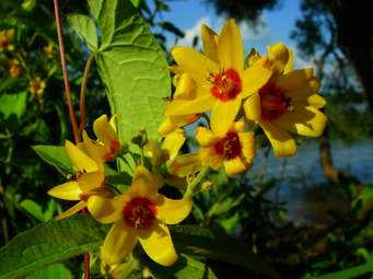 """""""Green"""" Project: Let's """"Save"""" the Yellow Flowers of Brazilian Wood (""""Endangered"""" species)"""