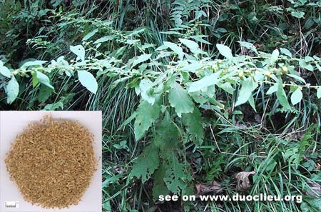 Carpesium fruit (Heshi)