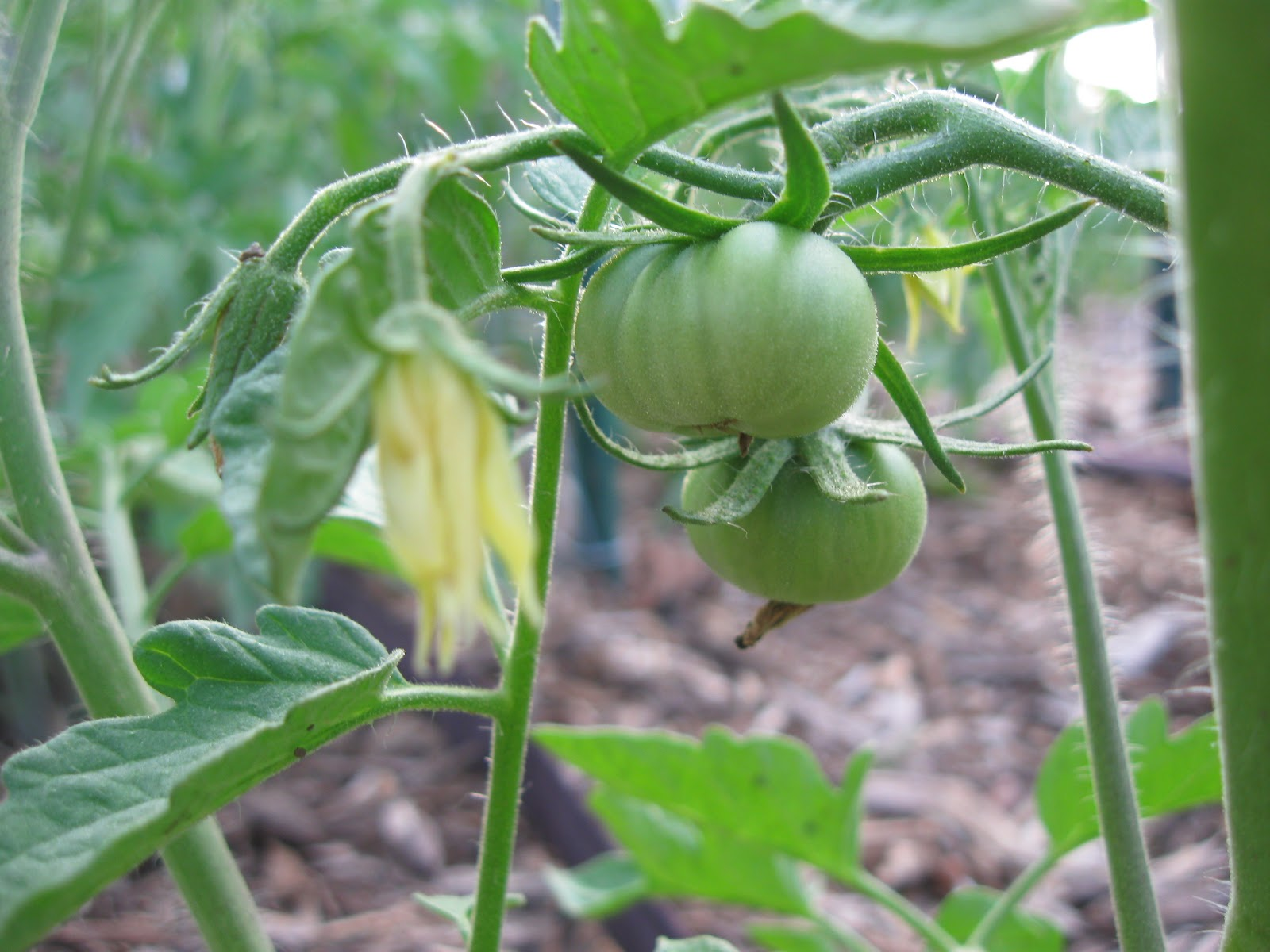 Kentucky Fried Garden: Tomato Plants are Setting Fruit and ...