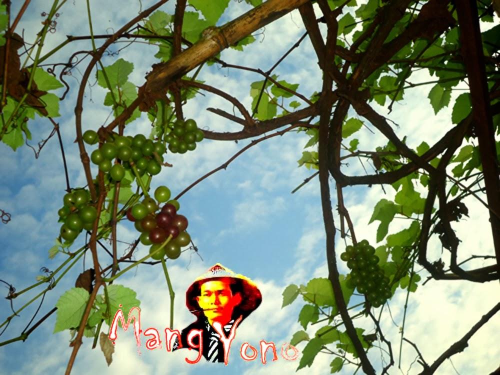 Pohon Anggur saya meskipun musim hujan tetap berbuah walau tidak lebat