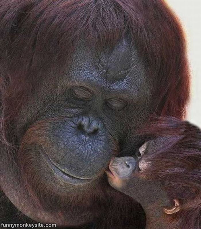 Funny Animals: Funny Monkey Kiss