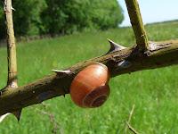 オレンジ色のカタツムリ