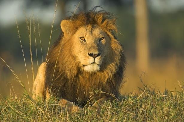 صور أسد 2014 , معلومات عن الأسد , صور ملك الغابة Lion 2014