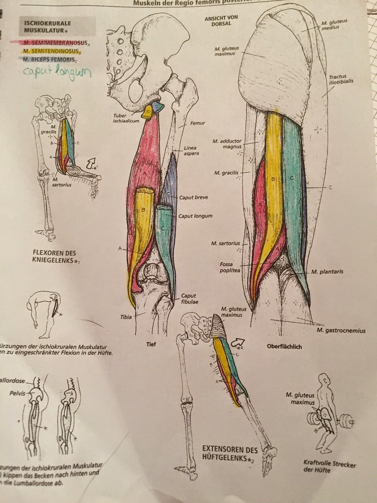 Groß Anatomie Der Muskulatur Arbeitsblatt Galerie - Menschliche ...