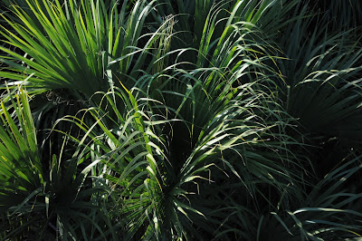 Cabbage Palmetto (Sabal palmetto)
