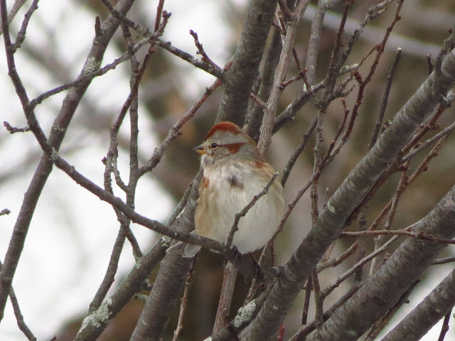american tree sparrow two