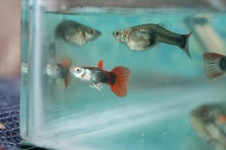 Mis mascotas cuidado de los peces guppy for Cuidado de peces