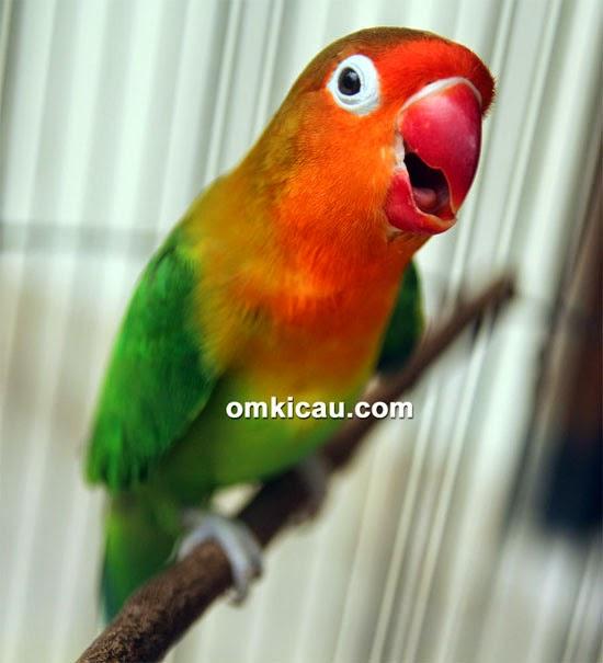 Foto Burung Lovebird Jantan