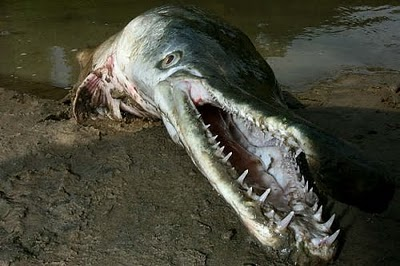 Scariest Fish In The World http://r19blue.blogspot.com/2012/07/fish-that-is-very-scary-monster.html