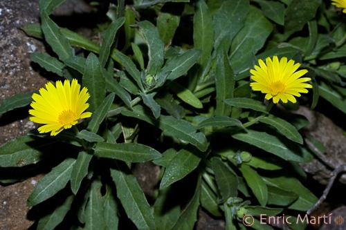 Germinar semillas Calendula IMAGEN EN JARDINERIA - Fotos De Flores Calendulas