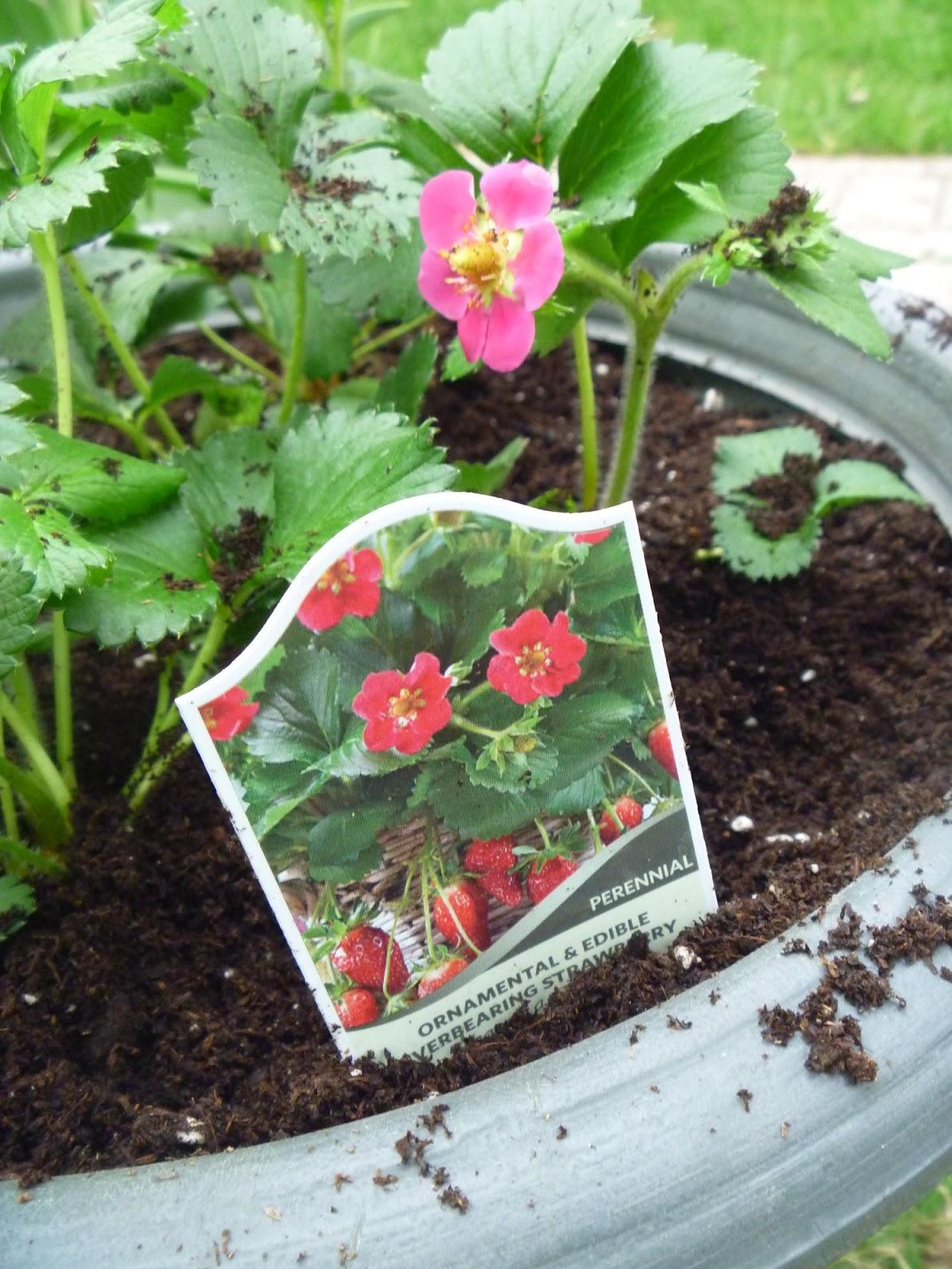 My homemade iowa life hot pink flowering strawberry hot pink flowering strawberry mightylinksfo