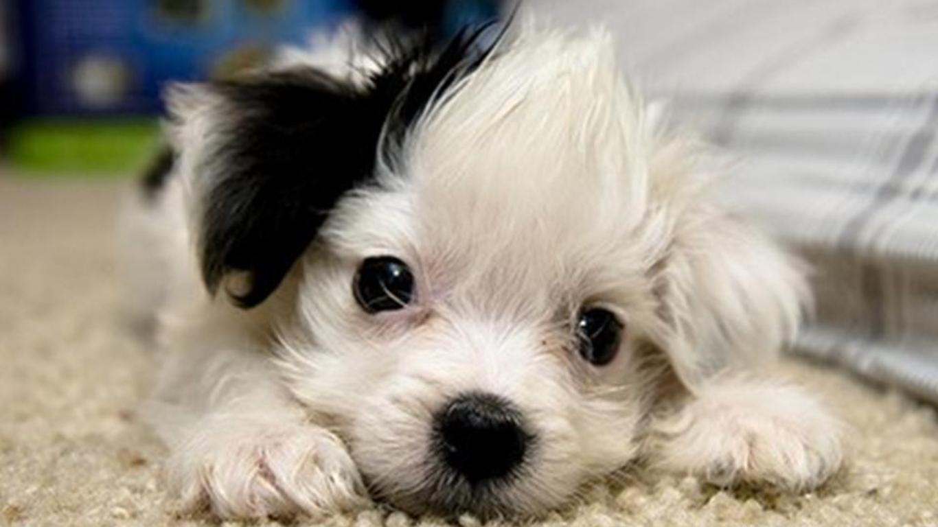 http://4.bp.blogspot.com/-jn_kkhzYUOE/T6twOrcpa2I/AAAAAAAABic/JRhC_INcmDU/s1600/wallpaper-cute-puppy6.jpg
