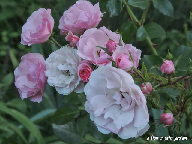 rosier à parfum