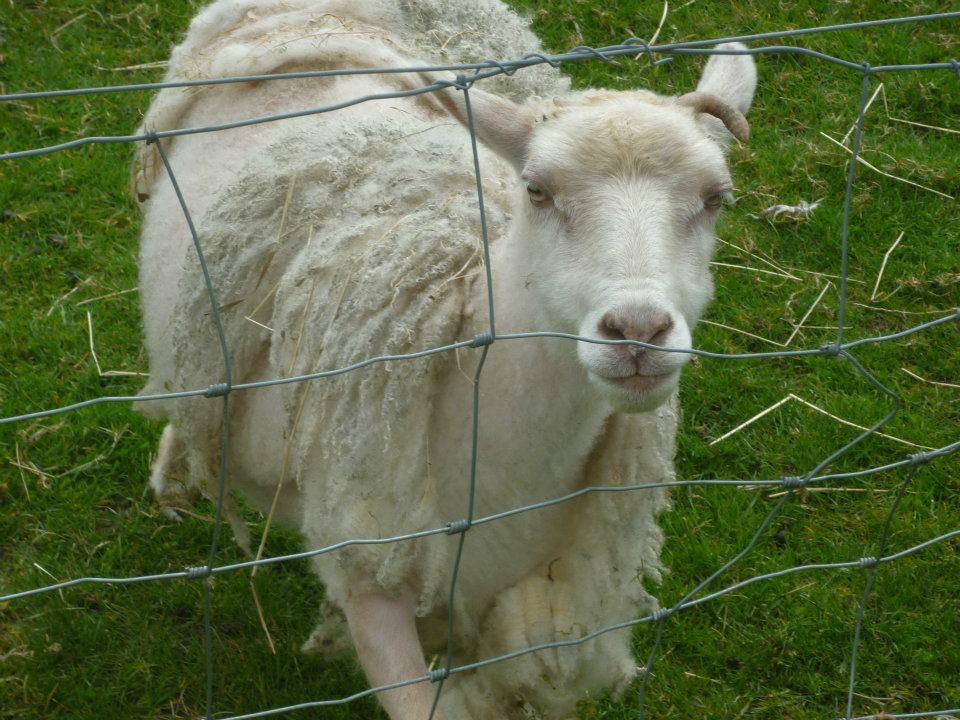 Evil sheep - photo#3