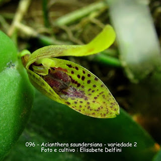 Acianthera saundersiana - variedade 2 do blogdabeteorquideas