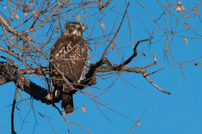 Red-tailed Hawk, Cherry Creek State Park