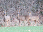 Some of our numerous Deers...
