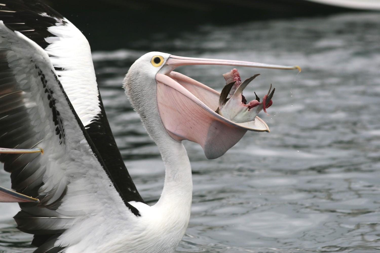 Esfera animal - Fotos de pelicanos ...