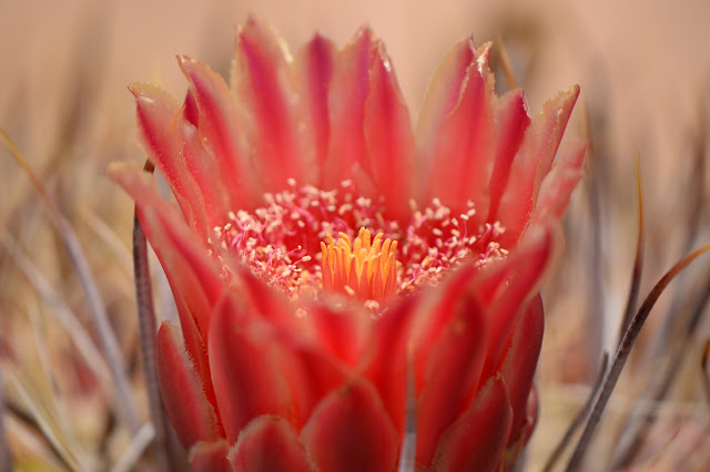amy myers photography, desert, ferocactus, cactus, bloom, flower, sonoran