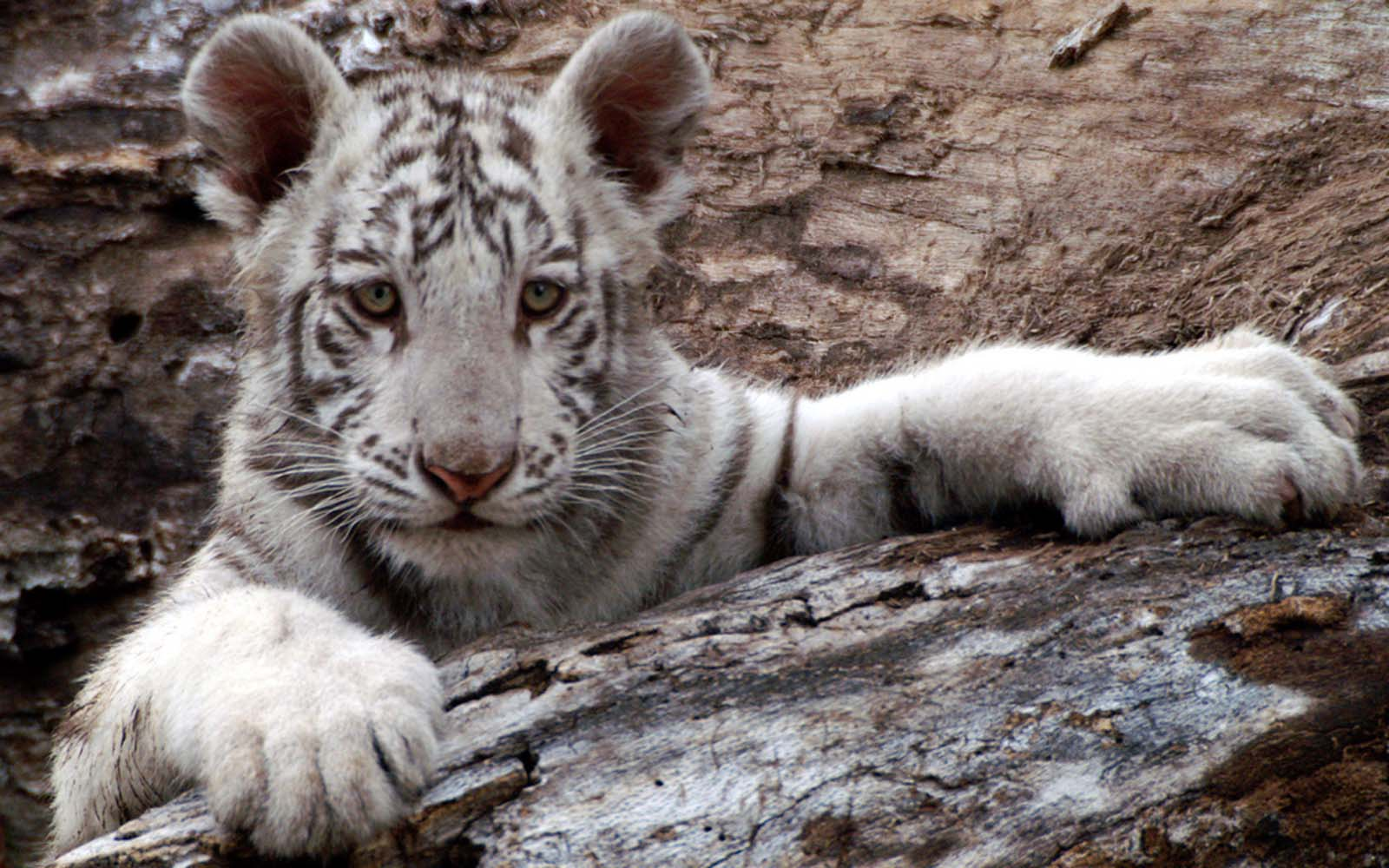 Baby White Tigers Wallpapers