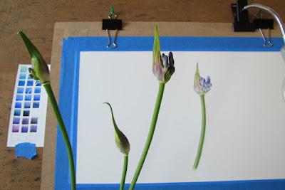 Agapanthus buds, botanical painting, Shevaun Doherty