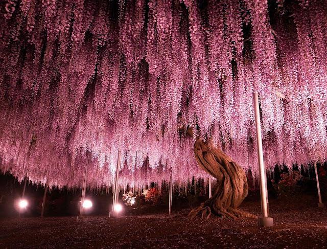 Taman Bunga Ashikaga