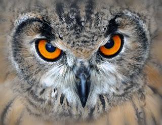 Ein Uhu der den Betrachter anstarrt (Foto: Astrid Guth - Schau mir in die Augen.. | CC-Lizenz (BY 2.0) Quelle:www.piqs.de