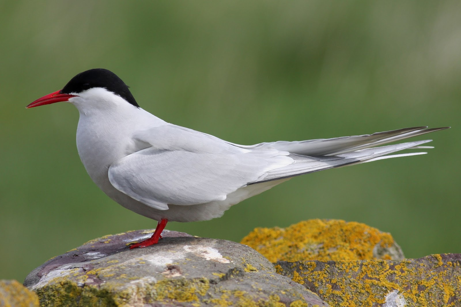 Image Result For Arctic Tern Coloring