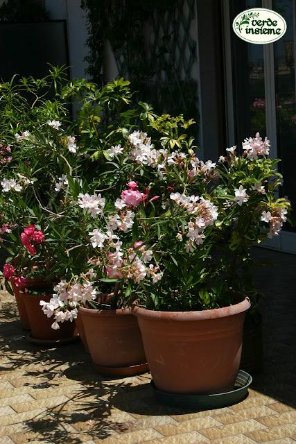 Nerium oleander nato libero for Talea di oleandro