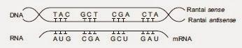 susunan DNA dan RNA