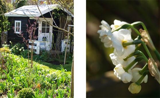 Det sorte legehus og dejlige forårsblomster. Her Narcisser