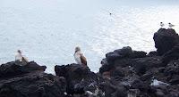Bird Life at La Loberia visitor site, San Cristobal, Galapagos