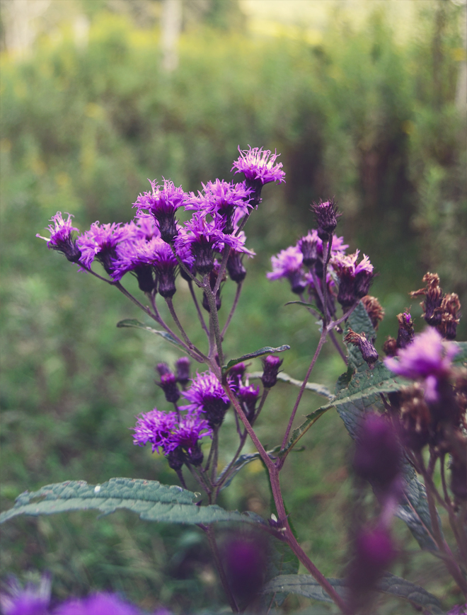 Tall ironweed - end of August