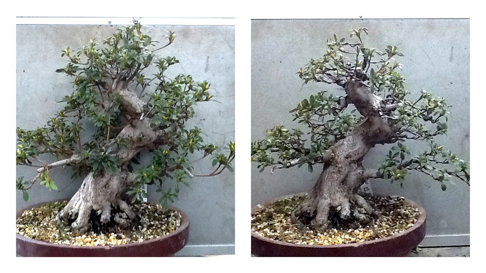 I Fear Change Saruyama Bonsai Peter Warren Wiring Lesson Ue San Brought It Back And Said Sort Out A Year Since Was Planted From Raw Stock Time For The First