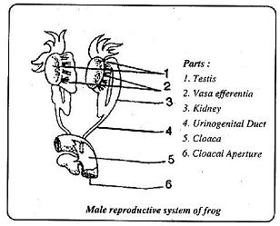 relationship of excretory and reproductive organs frogs