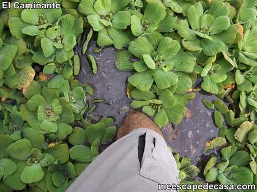 Plantas acuáticas en la laguna Ricuricocha (San Martín, Perú) - 1