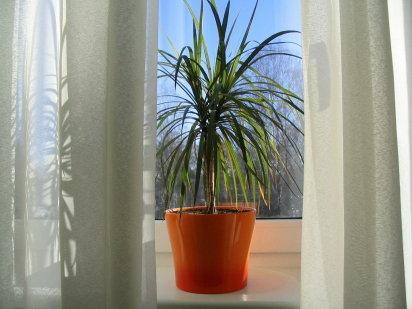 Base paisajismo cuidados en plantas y flores octubre for Palmeras plantas de interior