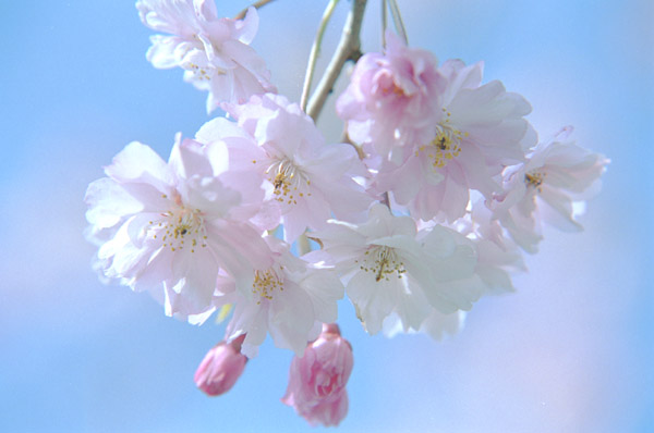 Beautiful Sakura Flower