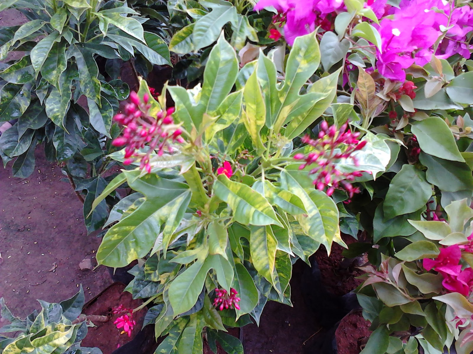 Garden Care Simplified Croton Plant Colorful Leaves Plant